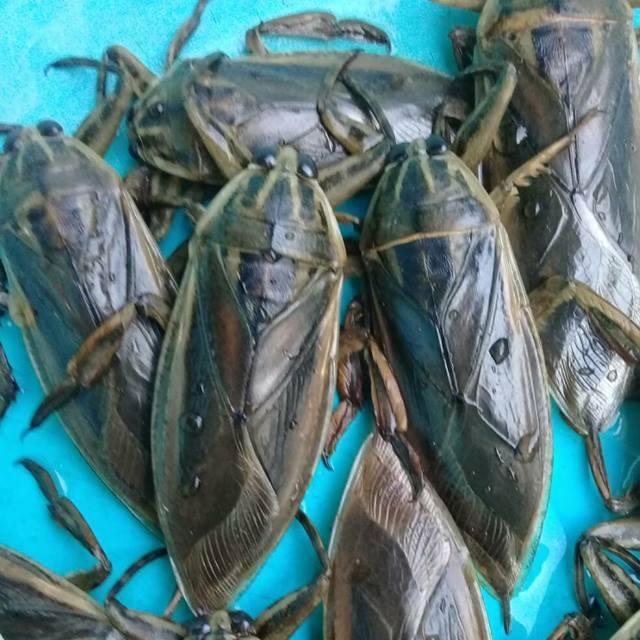 Maeng Da Beetle